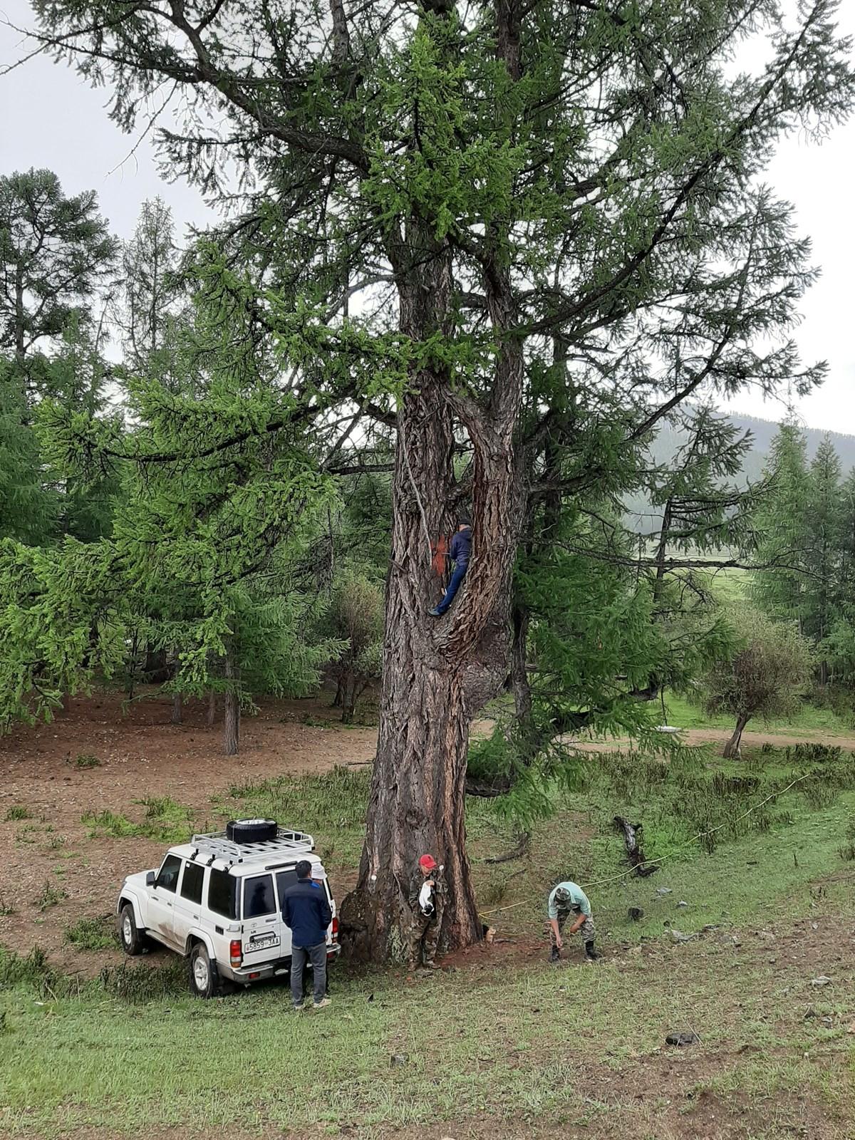 Манай орны хамгийн хөгшин, бүдүүн мод